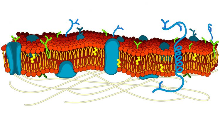 A diagram showing the cell membrane